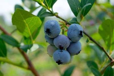 Vaccinium cor. 'Brigitta Blue' 3L, 30-40 Blauwe bes