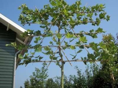 Platanus acerifolia, Lei-Plataan, Voorgeleid met rek, 10-12cm stamomtrek
