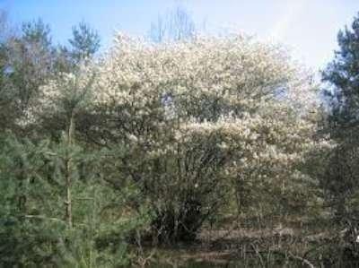Amelanchier lamarckii, 50-60 3L, Krentenboompje