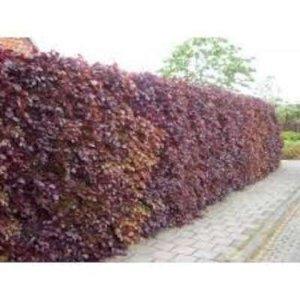 Fagus sylvatica Atropunicea, Rode Beukenhaag 60-80cm
