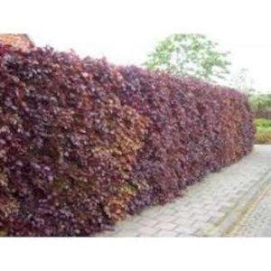 Fagus sylvatica Atropunicea, Rode Beukenhaag 125-150cm