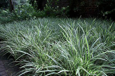 Carex morrowii 'Variegata', Zegge