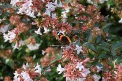 Abelia grandiflora 25-30