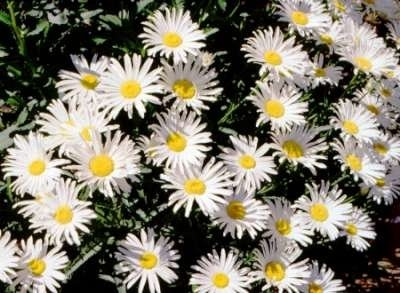 Chrysanthemum max. 'Silberprinzess', Margriet