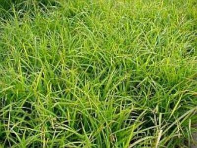 Carex morrowii, Zegge