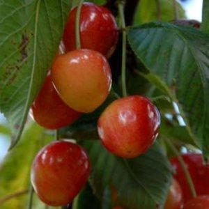 Bigarreau Blanc-Rose (witbuik), STRUIK