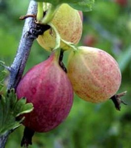 Ribes uva crispa 'Hinnonmaeki Roed', Rode stekelbes, Kruisbes