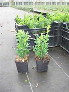 Buxus Sempervirens, 15-20 cm Pot P9