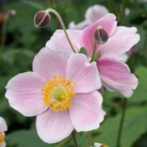 Anemone hupehensis 'September Charm', herfstanemoon