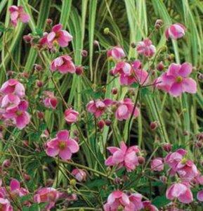 Anemone hybr. 'Hadspen Abundance', Anemoon