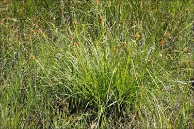 Carex flava, Zegge