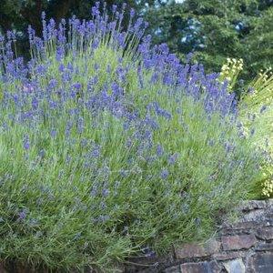 Lavandula int. 'Dutch', 2L Lavendel