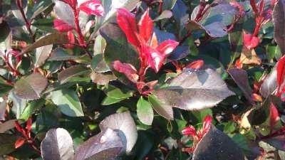 Photinia fras. 'Little Red Robin', 40-50cm Glansmispel