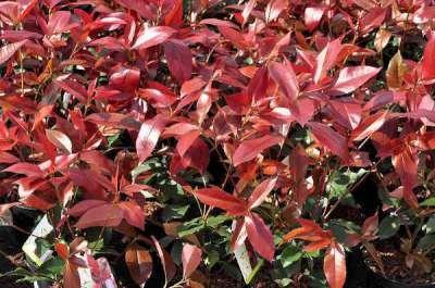 Photinia fras. 'Camilvy', 40-60cm Glansmispel