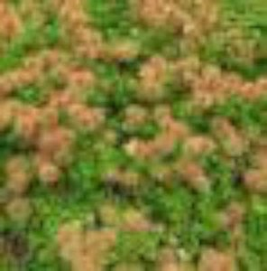 Acaena microphylla, Stekelnootje