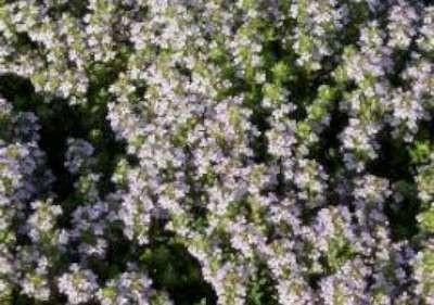 Thymus vulgaris 'Compactus', Tuintijm