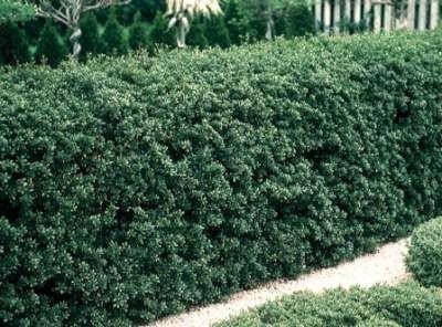 Ilex cren. 'Green Hedge' 3L, 30-35 Hulst