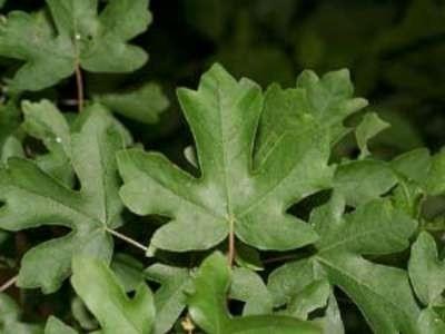 Acer Campestre, Veldesdoorn, bosplantgoed, 1+2 100-125