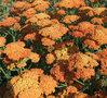 Achillea millefolium 'Terracotta', Duizendblad