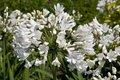 Agapanthus 'Arctic Star', ® Afrikaanse lelie