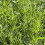 Artemisia dracunculus 'Senior', Franse dragon