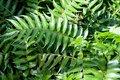 Cyrtomium falcatum, Ijzervaren