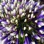Agapanthus 'Fireworks' ®, Afrikaanse lelie