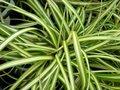 Carex 'Ribbon Falls', Zegge
