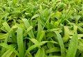 Carex plantaginea 'Blue Ridge' , Zegge