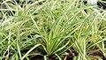 Carex oshimensis 'Evergold', Zegge