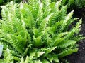 Asplenium scolopendrium, Tongvaren