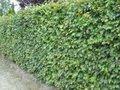 Fagus sylvatica, Beukenhaag 40-60 cm