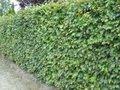Fagus sylvatica, Beukenhaag 60-80 cm
