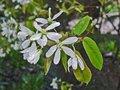 Amelanchier lamarckii, Krentenboompje, bosplantgoed 1+2 80/100