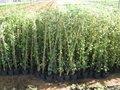 Hedera helix 'Hibernica', klimop pot 1,5l, gestokt 80-100 cm