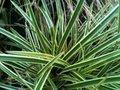 Carex oshimensis 'Evergreen', Zegge