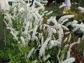 Actaea simplex 'White Pearl', Zilverkaars