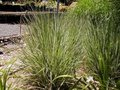 Calamagrostis acutiflora 'Overdam', Struisriet