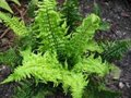 Dryopteris affinis, Mannetjesvaren