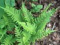Polypodium vulgare, Eikvaren