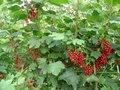Ribes rubrum 'Jonkheer van Tets', Rode Bes