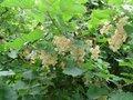 Ribes rubrum 'Witte Parel',  Witte Bes