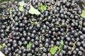 Ribes nigrum 'Titania',  Zwarte Bes