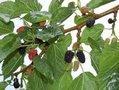 Morus nigra, 20L pot, Zwarte moerbei, HOOGSTAM