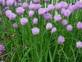 Allium schoenoprasum, Bieslook