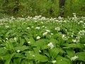 Allium ursinum, Daslook