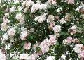 Rosa 'Albertine', (Liaanroos) Klimrozen