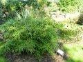 Fargesia murieliae 'Simba', Bamboe 15L 60/80