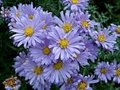 Aster dumosus 'Lady in Blue', Aster
