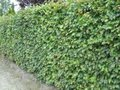 Fagus sylvatica, Beukenhaag 200+ cm
